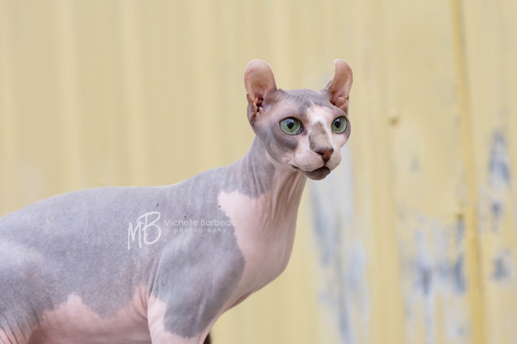 American Curl hairless cat